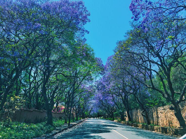Jacaranda trees in the beautiful streets of Johannesburg 🌳💜 Instagram: gabrielladematos  #art #naturelovers #natureza #jacaranda #colorful