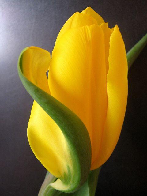 djferreira224:  Obraz 2145a by Wisia on Flickr.  amazing Yellow Tulip