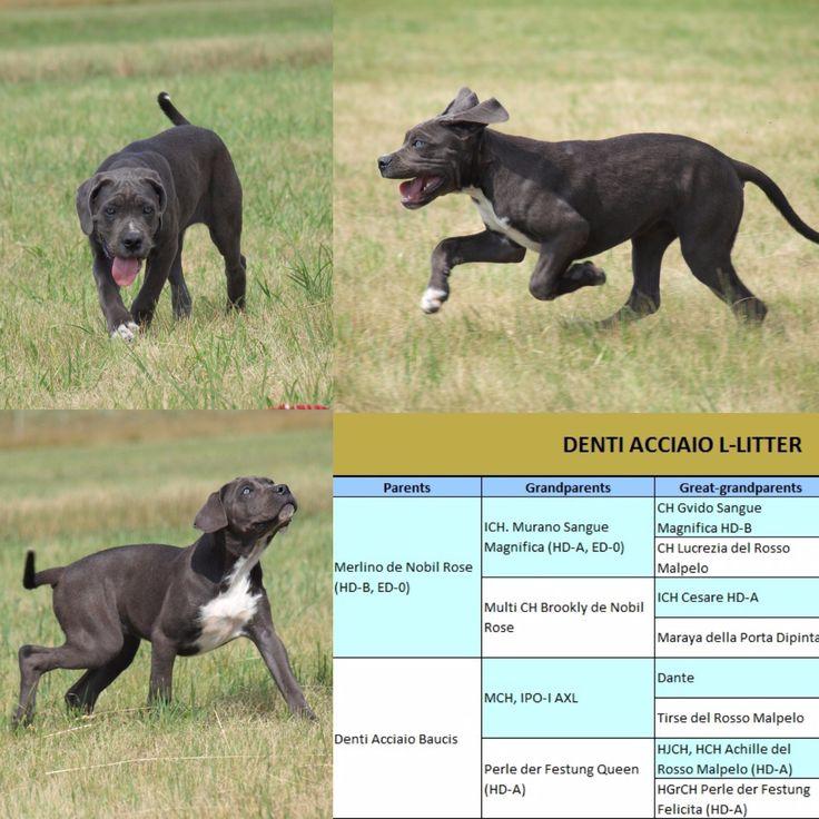 Denti Acciaio Loreley  Cane Corso puppy for sale