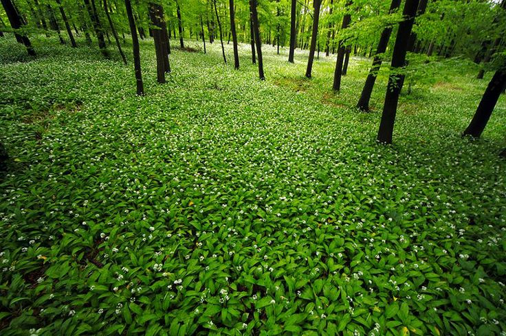 Ah, now the season for medvehagyma or wild garlic, is here. You may see people wandering the shady woods with plastic bags full of this pungent herb. Its broad flat leaves have a slightly peppery taste, and can be eaten raw.
