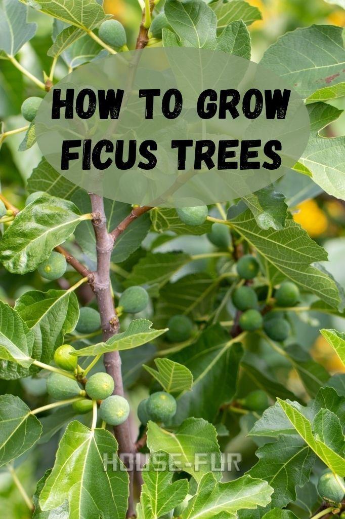How To Grow Ficus Trees Ficus Tree Ficus Broadleaf Evergreen
