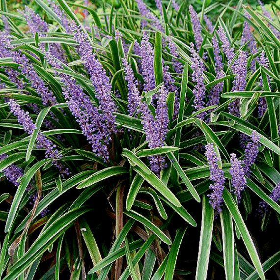 58 best low maintenance shade plants for north texas for Low maintenance perennials for shade