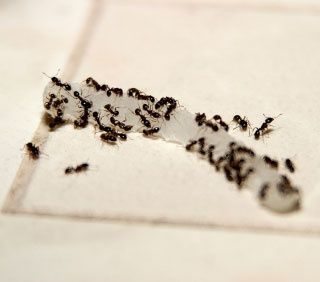 Rid ants with a Borax paste. Ants carry it back to their colony, it kills the whole nest. Mix 1 teaspoon borax or boric acid and 1 teaspoon sugar or honey with enough water to make a thin paste, and put the mix in a small jar near where the ants have been foraging.