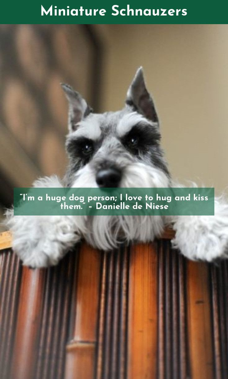 Love Is The Emotion That A Woman Feels Always For A Poodle Dog And Sometimes For A Man Miniatureschnauzer Poodle Dog Huge Dogs Miniature Schnauzer