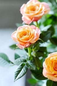 Bouturer un rosier (Fiches conseils)