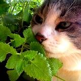 Herbs A-Z: C is for Catnip! Curious about how to brew up your own medicinal catnip tea?