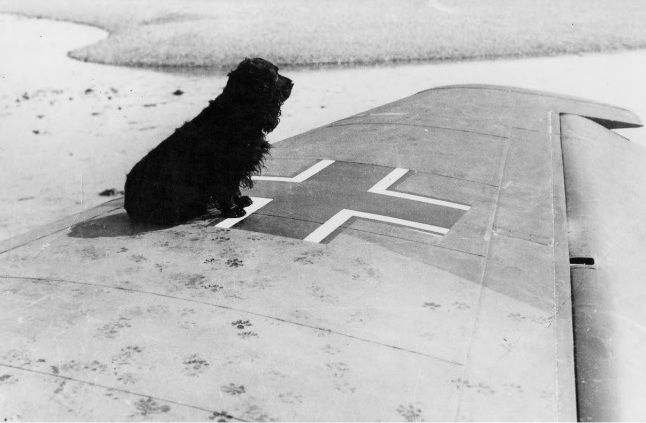 """A spaniel belonging to one of the soldiers guarding Ju88A-1 4D+AD of Stab 3/KG30 is shown by photographer Frank Lalouette of Bognor Regis having padded his paw prints across the starboard wing. With both propellers feathered and 2 crewmen dead from wounds received by S/L Alexander VR """"Sandy"""" Johnstone, P/O Archibald """"Pat"""" Lyall and F/O Paul C Webb of No 602 Squadron RAF 20m north of Mayfield, Maj Johannes Hackbarth ditched on the foreshore at Pagham Harbour at 17.40 on 9 September 1940."""