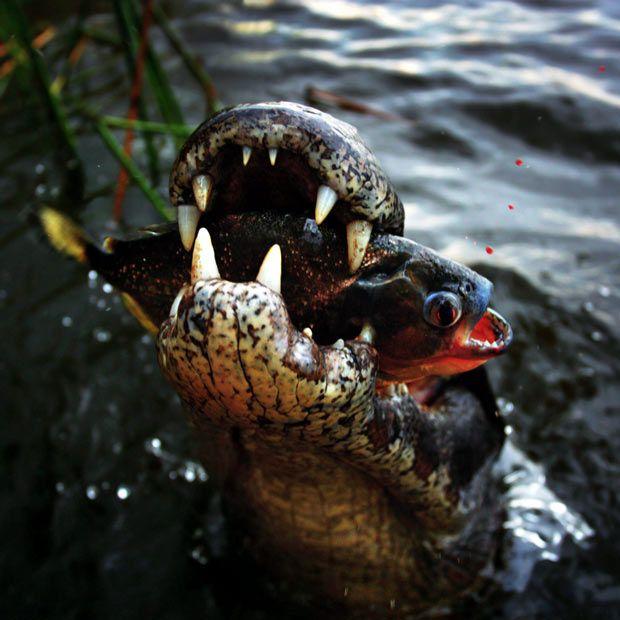 Yacare Caiman and a piranha.  For more info on piranhas, please visit http://worldofpiranhas.com/