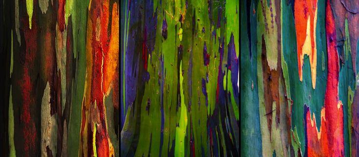 WHOA. Check out the Rainbow Eucalyptus tree, AKA Eucalyptus deglupta