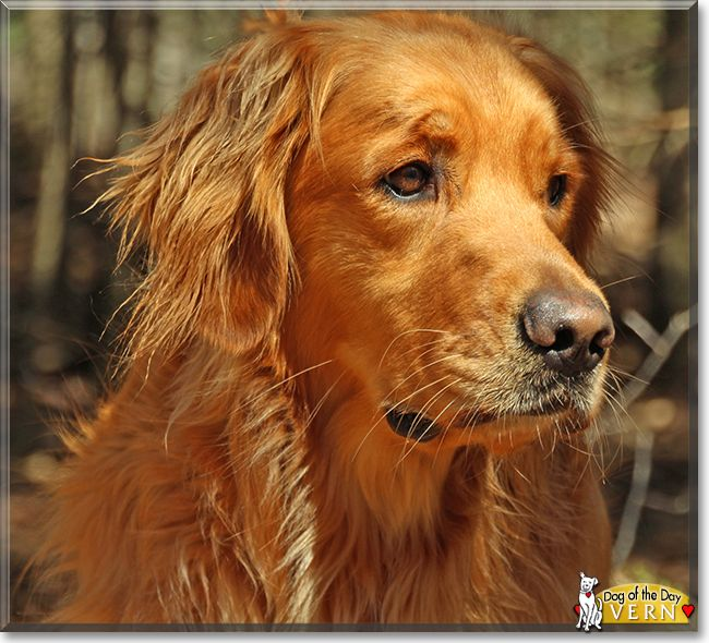 Vern The Golden Retriever The Dog Of The Day Golden Retriever
