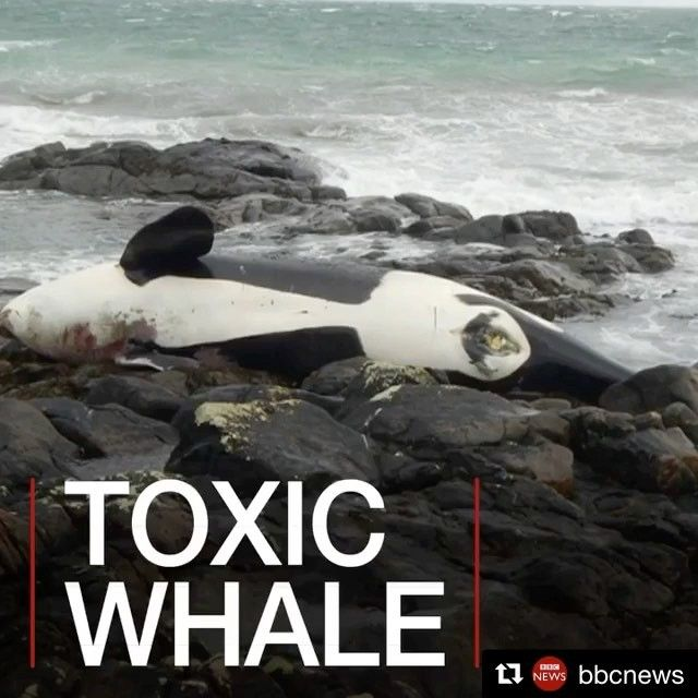 """2,938 Likes, 159 Comments - Racing Extinction (@racingextinction) on Instagram: """"Lulu the killer whale was found dead on a beach in Scotland. Tests reveal she had high levels of…"""""""