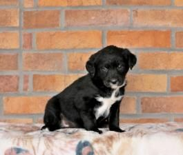 Price Under 300 Page 4 Buckeye Puppies Labrador Retriever Mix Puppies For Sale Puppies