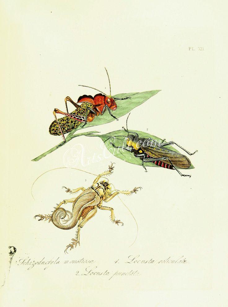 051-carabus, asilus, tenebrio, cimex, melolontha, coccinella, chrysomela, phalaena      ...