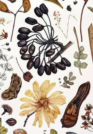 寂寞而死的何止水手。Seedheads ,Seed Pods and Seed Picture , Photo Metaphor and Inspiration for CAPI Art Students at milliande.com, seed, pod, nature, science, plant, beginnings, life, draw, sketch, paint seeds