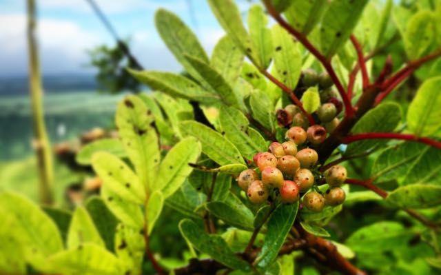 MAURITIUS SPECIAL - Essen spielt auf Mauritius eine große Rolle. Klar, bei dem Klima und der kulinarischen Vielfalt. Hier seht ihr ein paar typische Zutaten, Gerichte und Rezepte von der Insel im indischen Ozean, auf der der Pfeffer wächst.