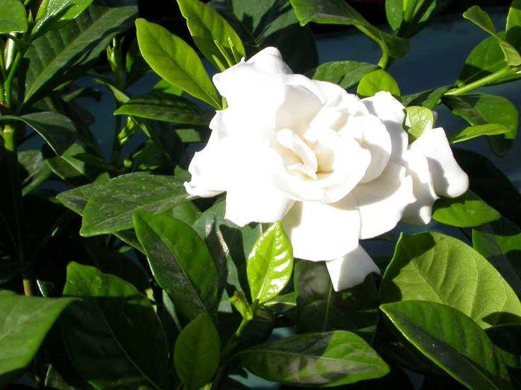 gardenia cerca con google house plantsgarden plantsoutdoor plantsshade plantsgardeniaswhite flowersshrubyardnote