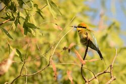 FAR-0007200 © WestPix A small colourful bird in a tree in the Northern Territory. Picture: Farhad Mobarra