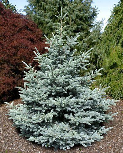 Kigi Nursery - Picea pungens ' Bonny Blue ' Colorado Blue Spruce, $20.00 (http://www.kiginursery.com/spruces/picea-pungens-bonny-blue-colorado-blue-spruce/)