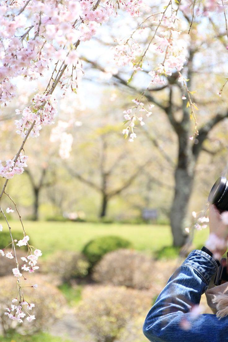 Man Taking Photo of Cherry Blossom Flower