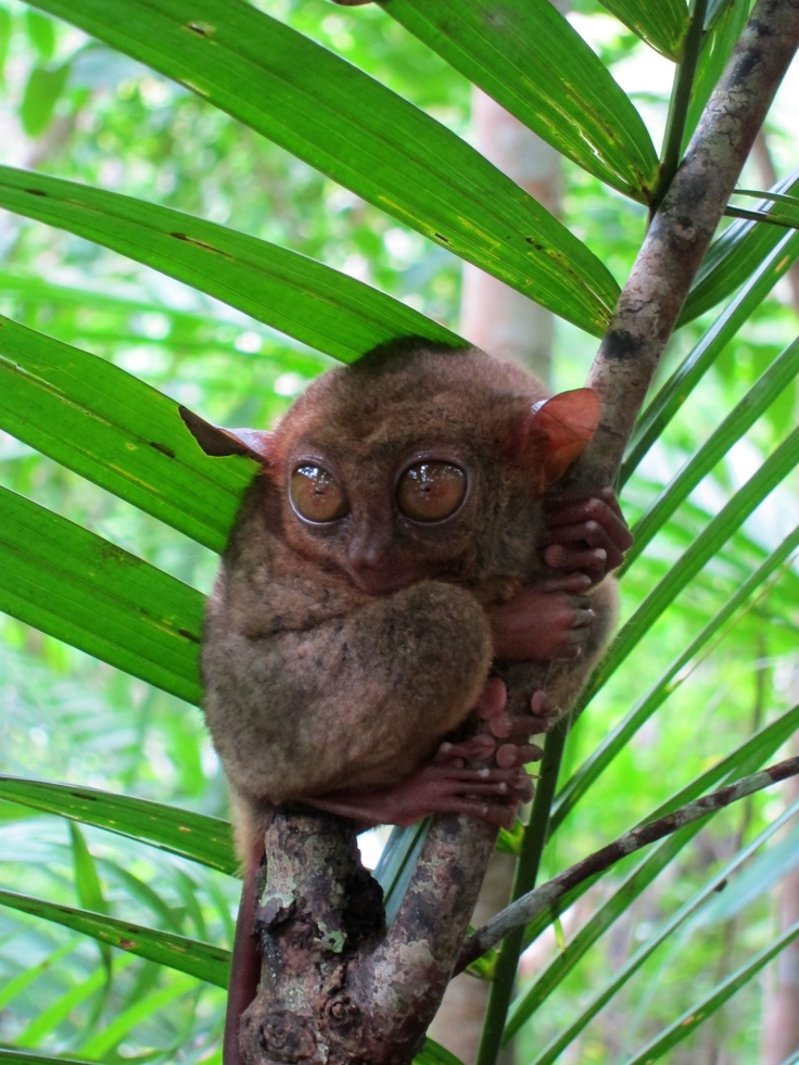 Tarsius, the world's smallest monkey in Bohol, Philippines. Taken by Louisa.: Smallest Monkey, Favorite Photos