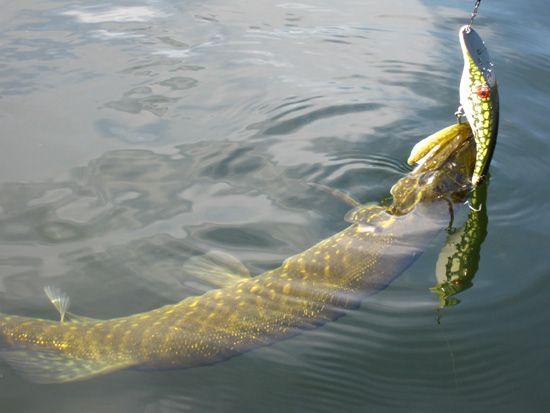 Prin Delta Dunarii la pescuit de stiuca