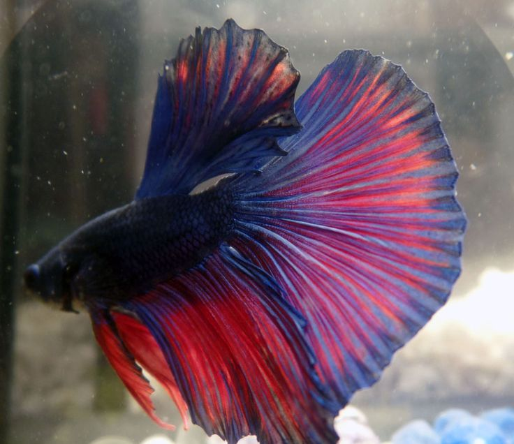 17 best images about betta fish on pinterest red white for Best betta fish