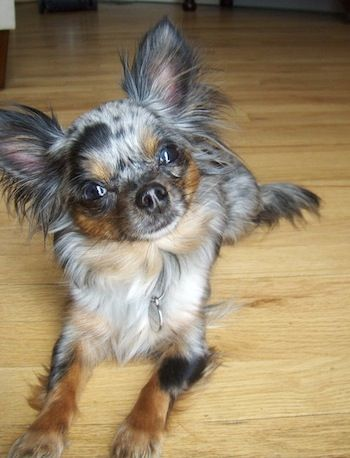 Roxi, a long haired blue merle Chihuahua at 3 years old.