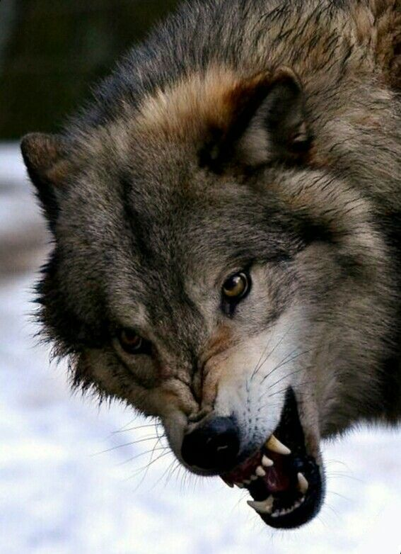картинки про волков злых грацию, красоту, духовную