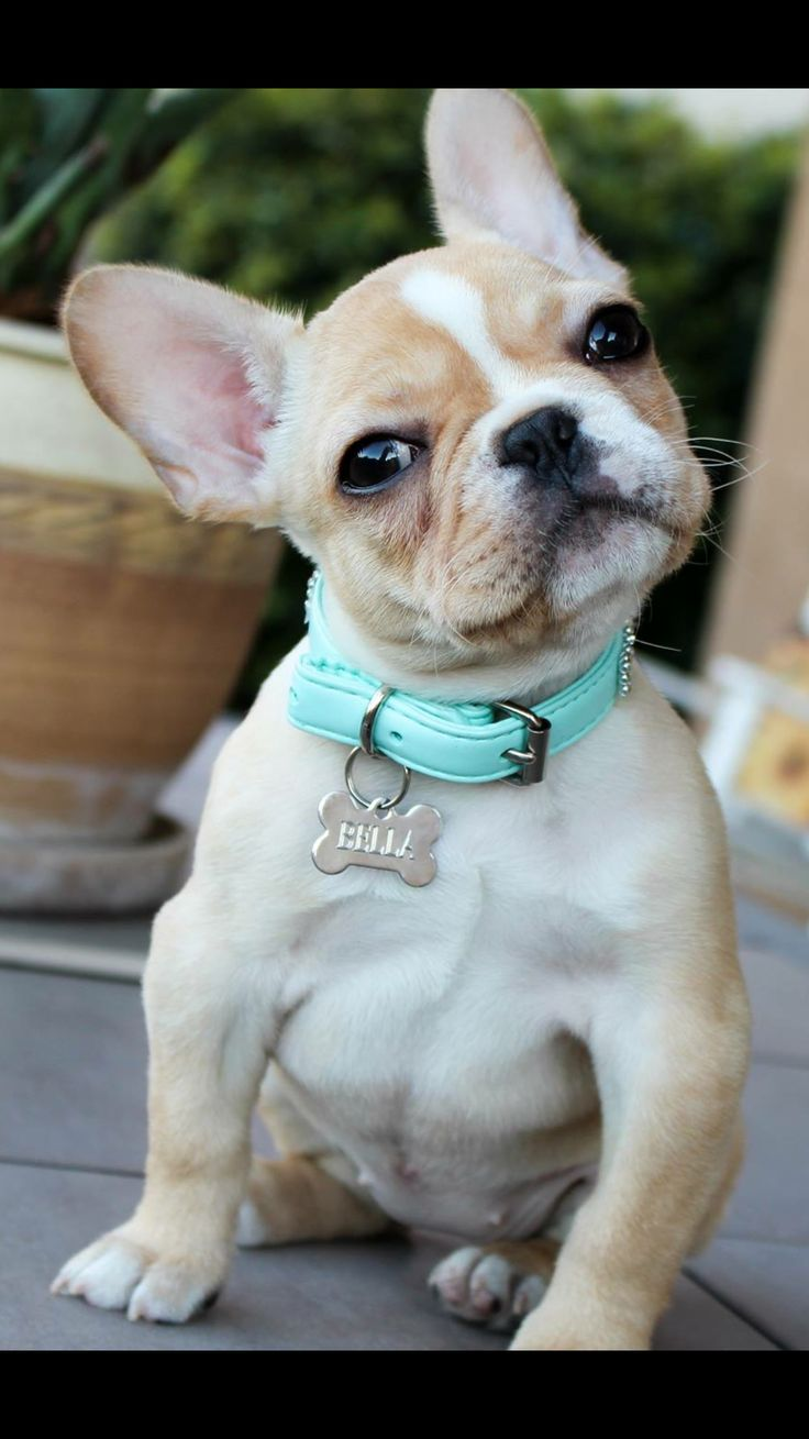 Baby French Bulldog Blue Fawn