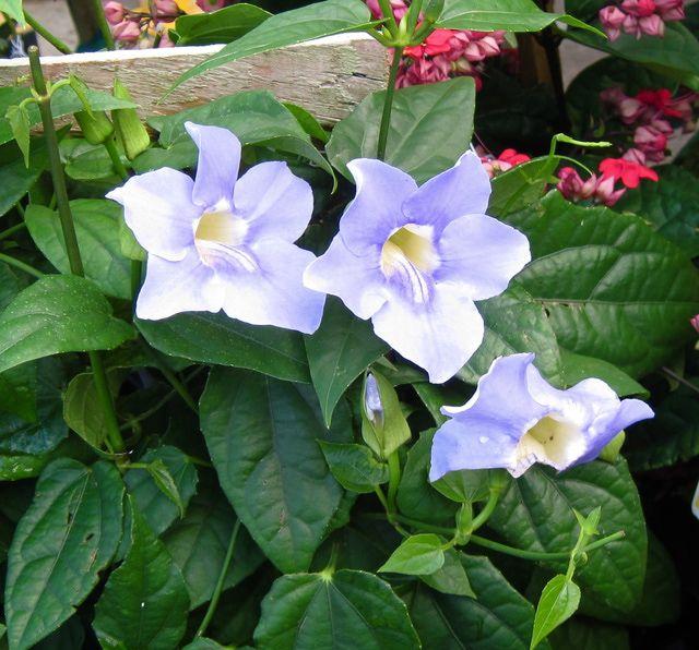 25 best ideas about plantas para exterior on pinterest - Plantas trepadoras para muros ...