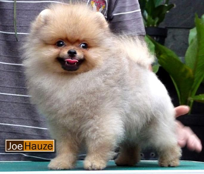 pomeranian chow 13 best dog breeds images on pinterest cubs dog breeds 3063