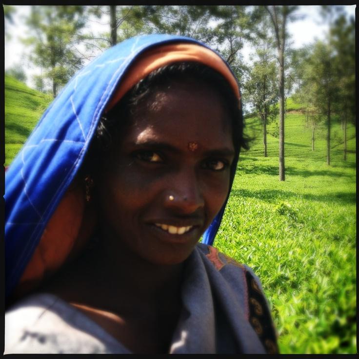 Tea Picker. Somerset Tea Estate, (Dilmah) Ceylon