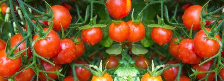 M s de 25 ideas incre bles sobre cultivar tomates en for Plantar pimientos y tomates