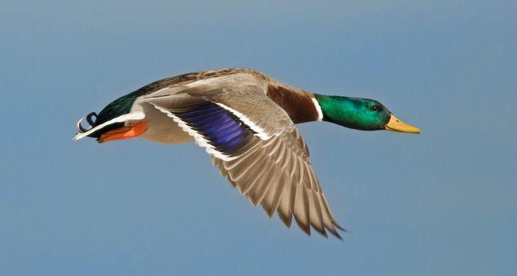 Pato silvestre Cuerpos de agua fresca, como lagos, la zona predilecta de esta especie.  Crédito de foto: Shutterstock