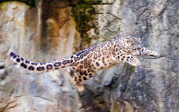Domestic Cats That Look Like Snow Leopards Images