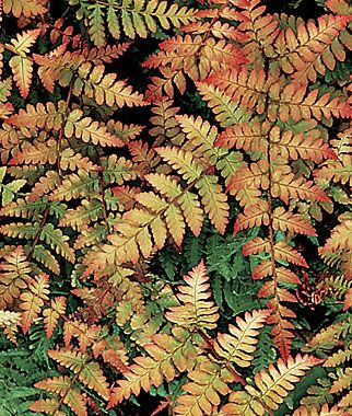 Fern, Autumn