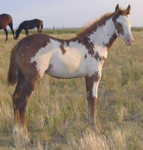 Manitoba paint horse | Pictures of Paint horses for sale. Sorrel Overo Filly, Paint filly for ...