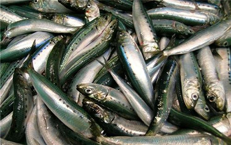 Pacific sardines are filter feeders that feed on a variety of phytoplankton and zooplankton. Though they filter very small prey, they use their relatively large eyes and exceptional eyesight to increase the density of prey in the water that they filter. This strategy is in stark contrast to that used by the very large bodied filter feeders (like whale sharksand basking sharks), which essentially feed blindly and rely on large volumes of wa