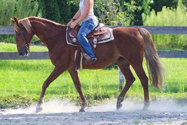 Kat is a solid 15.2, 14 year old Saddlebred mare. Kat has beautiful smooth gaits, she has been used for hunter work, endurance trail riding and has been exposed to western she has a beautiful head set and would make a fabulous show horse. Kat has absolutely o flaws under saddle.