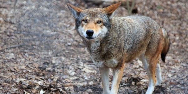 17 best ideas about red wolves on pinterest black wolves for Black wolf fish