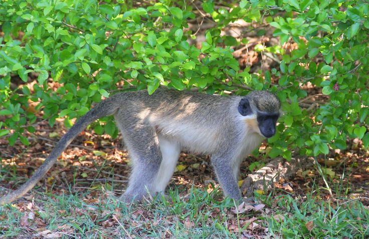 "Barbados ""Green Monkey"""