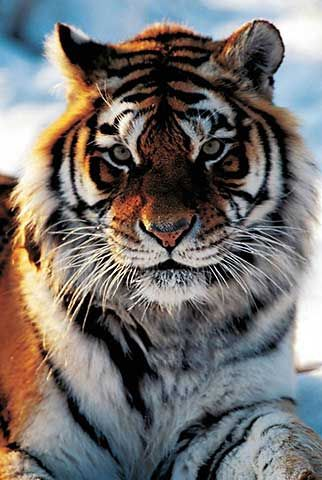 Photo Print Siberian Tiger, panthera tigris by Panorama Media (F1 Online) on Glossy normal – Wild things