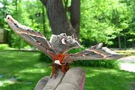 hyalophora cecropia butterfly - Yahoo Image Search Results