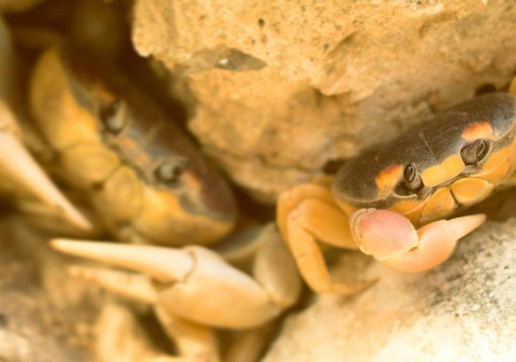 #crab #cangrejo #cangrejos #cangrejodemar -#cangrejosfamilia #temporadadecangrejo #supervivencia #instinto #piedras #hiden #mothernature #pachamama #tenazas #holaqac #siempre #sight #and #road #littlefriends #pequeñosamigos #mexico #riveranayarit #sayulita #buenclima #thankyou  Follow us in FB to see more http://ift.tt/2h5Ulez thank you!  Para ver más síguenos en FB http://ift.tt/2h5Ulez muchas gracias!