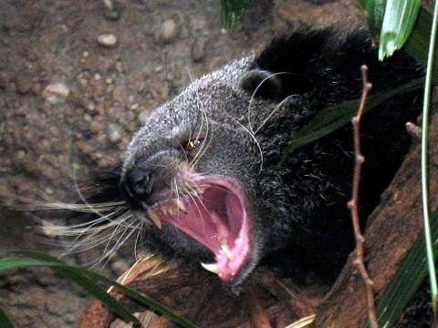 194 best Animals civets fossa genets linsang binturong