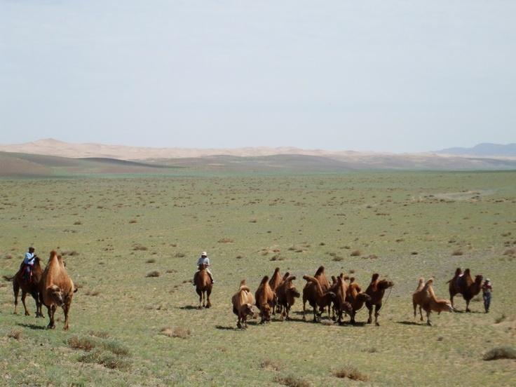 """interessante è l'avvicinamento agli usi e costumi degli allevatori di cammelli battriani che insieme ai cavalli, le pecore, le capre e gli yaks costituiscono le cinque specie per cui i mongoli si definiscono """"il popolo dei cinque animali""""."""