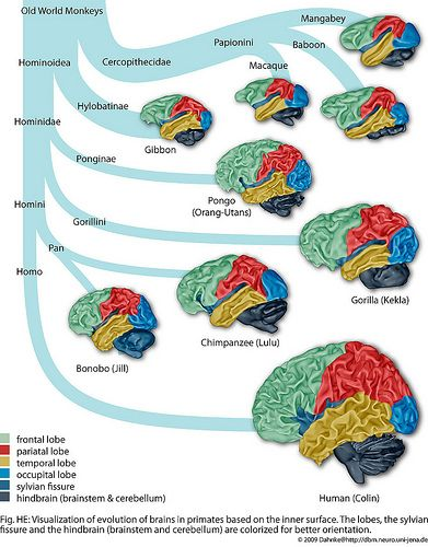 vertebrate brain evolution - Google Search