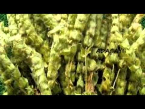 Ada Çayının Faydaları Bitki TV - YouTube gülser