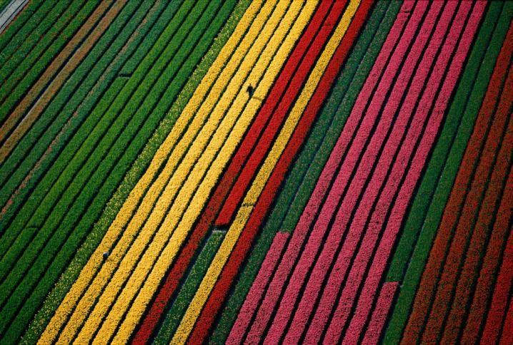 Champs de tulipes à proximité de Lisse - Région d'Amsterdam - Pays-Bas © Yann Arthus-Bertrand