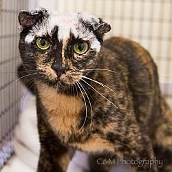 Peninsula Humane Society & SPCA Burlingame, California - Domestic Shorthair. Meet Rogue, a 2 yr. old for adoption. https://www.adoptapet.com/pet/20893159-burlingame-california-cat. Rogue was rescued off the streets with a horrible case of mange which is why her ears are curled.